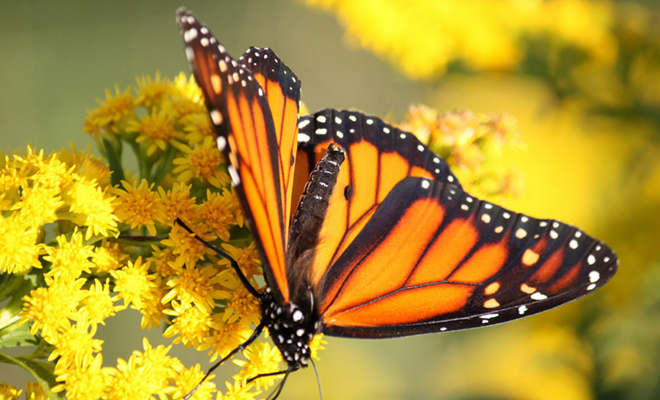 Monarch Butterfly Habitat Planting