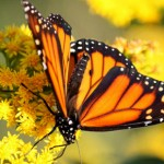 Goldenrod to the Rescue To Help Save the Monarchs