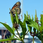 Dinghy planters worked… Monarchs in Newport