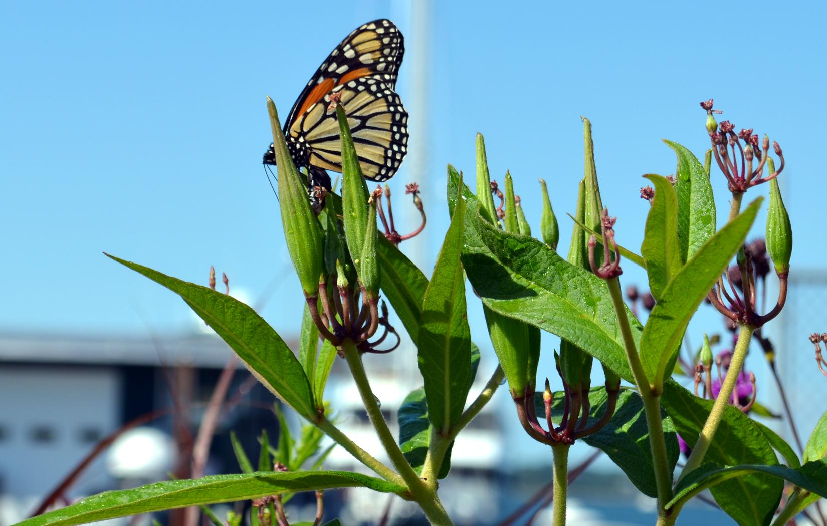 Spring-Wharf-Monarch